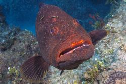 Boo! Curious grouper, Bahamas. Fuji Finepix S2. by Stuart Spechler 